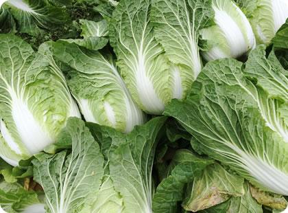 秋冬白菜と春白菜